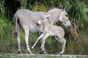 [Ânes] Naissance d'un âne de Somalie au zoo de Miami