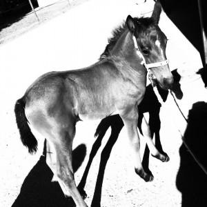 15 daysold pony   connemara aluinn pony poney chevalhellip