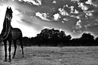 [Equestrian Photography] Le Marwari d'Abhishek Acharya
