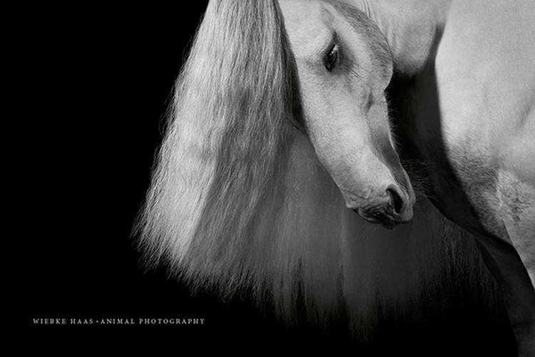 Tinker, Mähne, Hengst, Pferd, Fine-Art, Pferdefotografie, Pferd