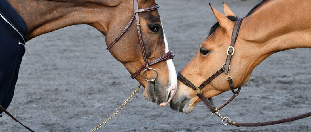 Pourquoi les compléments alimentaires naturels sont les meilleurs alliés du cheval de sport